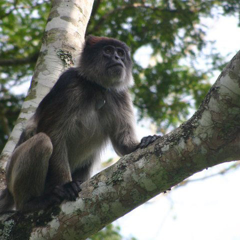red_colobus