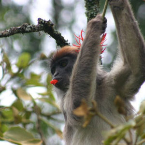 red_colobus2_square